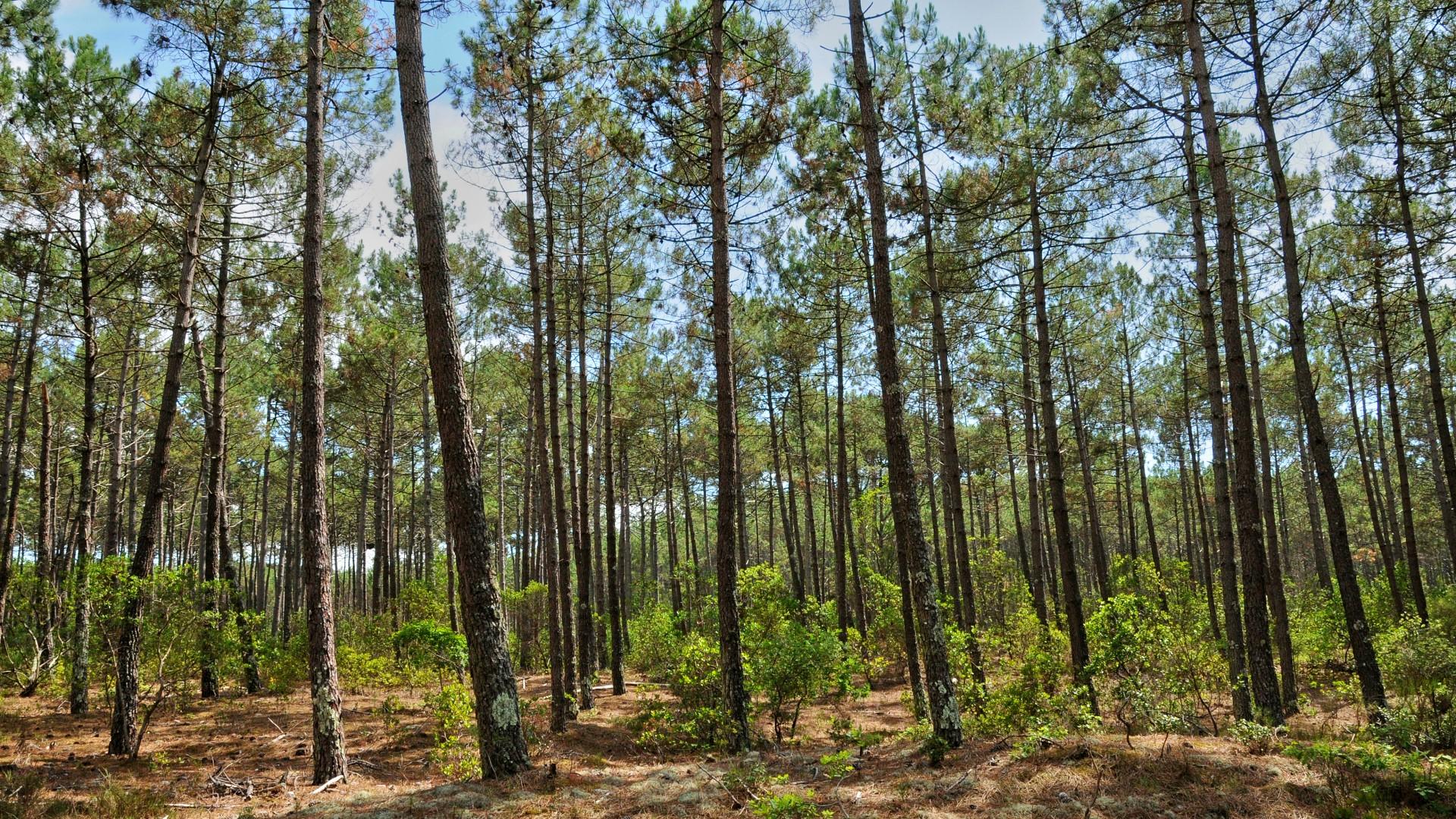 Forêt de pins sur le bassin d'Arcachon - mise en place d'une trame forestière avec C Ma Terre et la mairie du Teich